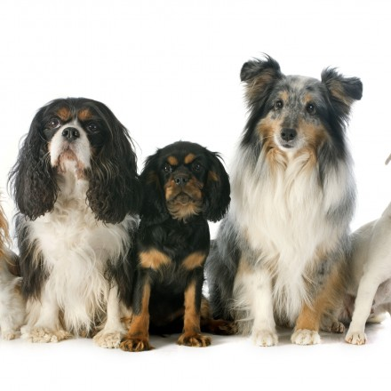 puppy  and adult cavalier king charles, chihuahua, jack russel terrier and shetland sheepdog in front of white background